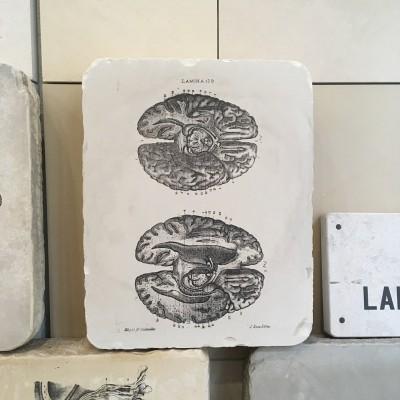 piedra litografica anatomia cerebros